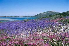 Langebaan - spring in the West Coast Nature Reserve next to the Langebaan lagoon. Western Cape, South Africa