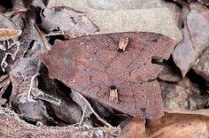 Agrochola albirena chihtuana (Chang, 1991) Female