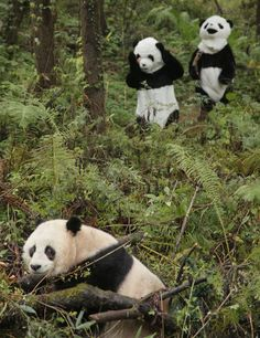 """The article heading is """"PANDA RETURNED TO WILD BY COMPLETELY INCONSPICUOUS MEN IN PANDA SUITS"""". Inconspicuous. I do not think you know what that word means."""