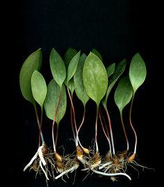 54164-01 Erythronium americanum