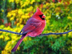 beautiful red cardinal