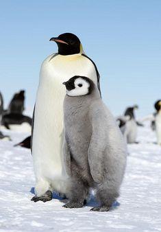 El pingüino emperador (Aptenodytes forsteri) es una especie de ave esfenisciforme de la familia Spheniscidae.  Esta especie, endémica de la Antártida, es la de mayor tamaño y peso de todos los pingüinos; el macho y la hembra son similares en plumaje y tamaño, pueden superar los ciento veinte centímetros de altura y pesan entre veinte y cuarenta y cinco kilogramos.