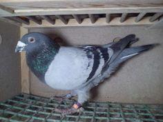16 rok gołębie pocztowe młode okazja 16 rok Janseny Ręczno - image 1