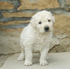 koomoodor dog   Komondor Dog As A Pet   Plus Pets - Dogs, Cats, Puppies, and much more ...