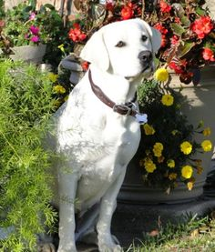 I really enjoy raising our beautiful WHITE labrador Retrievers at our ranch in TEXAS! www.legacy-labs.com is our website and www.facebook.com/... is our Facebook page. We lovingly raise our gorgeous pups and are happy to answer any questions that you may have! DALLAS AREA!!