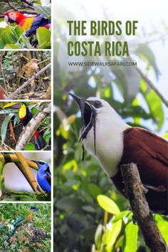Discover the fabulous array of Costa Rica birds. Take a trip to Central   America and discover the birds of Costa Rica in La Fortuna, Monteverde,   and Manuel Antonio. Experience Costa Rica birding. #CostaRica #Birds   #CostaRicaBirds #Birdwatching #Birding Travel Usa, Travel Tips, Travel Info, Travel Destinations, Shoebill Stork, South America Travel, North America, Animal Experiences, Costa Rica Travel
