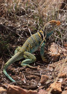 Eastern Collared Lizard - Crotaphytus collaris