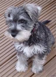 Miniature Schnauzer puppies                                                                                                                                                                                 More