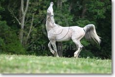 shagya arabian | Shagya Arab Stallion, Sun Arab Stables, KY