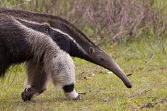 Walking with Anteaters