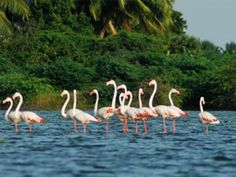 Indian Bird Sanctuaries are famous for viewing distinctive classes of migratory and domestic birds. Birds watchers from far and wide come to India to see these rare birds. India is a home for numerous of birds local as well as migrant birds.
