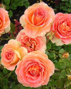 """Brass Band"" roses - they smell just like cotton candy!"