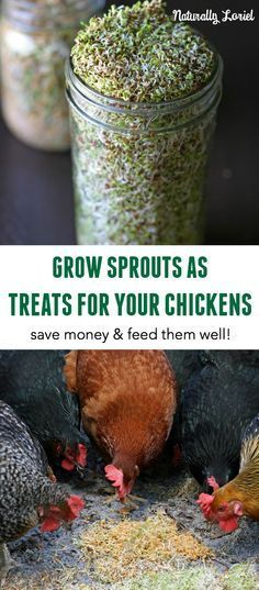Sprouts as Treats for Chickens Growing sprouts for your chickens is a great way to save money and give them a healthy treat!Growing sprouts for your chickens is a great way to save money and give them a healthy treat! Backyard Chicken Coops, Diy Chicken Coop, Backyard Farming, Chickens Backyard, Chicken Feeders, Chicken Life, Chicken Runs, Farm Chicken, Chicken Garden