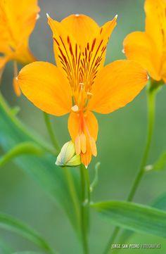 """Flor de Amancay - Parque Nacional """"Lanín"""" - Patagonia, Argentina."""