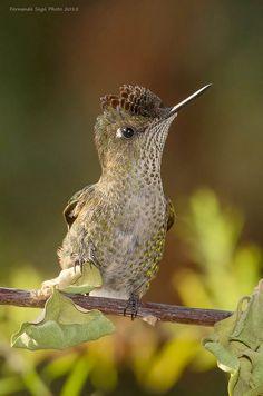 Hummingbird by Fernando Segú S.*