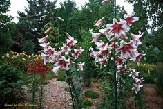 Conrad Art Glass & Gardens:   Orienpet Lily 'Silk Road'