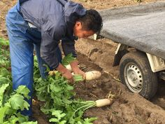 青果物の流通  ソーシャルメディアアグリ「地場活性化」のために: これが加賀野菜の「源助だいこん」だ!