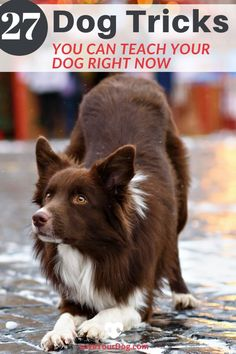 Seeing how your dog reacts to learning different types of tricks can be one of the most rewarding experiences of owning a dog. Regardless of what type of dog you have, here's some of our favorite tricks you can teach them. Dog Care Tips, Pet Care, Pet Tips, Manualidades Halloween, Easiest Dogs To Train, Cat Dog, Dog Hacks, Dog Training Tips, Training Classes