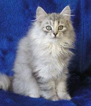 Our first gorgeous Siberian girl, Chayana