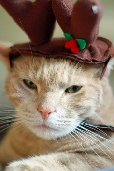Photos: Check out these adorably festive felines! They are celebrating Christmas like only cats can do! See more photos!  http://www.pawsforreaction.com/photos-christmas-cats.html