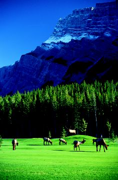 Fairmont Hotels ‏ @Fairmont Hotels & Resorts  #Wild at Fairmont - Take 2. Elk on the golf course @The Fairmont Banff Springs in Alberta, #Canada. twitpic.com/8r14cu #FriFotos