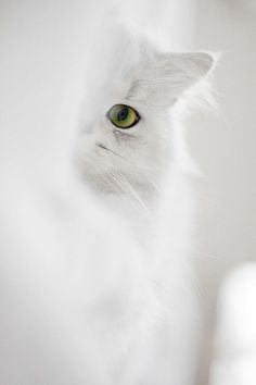 Click for white inspiration - http://dropdeadgorgeousdaily.com/2014/01/how-to-wear-white-makeup/ Animals Beautiful, Beautiful Cats, Simply Beautiful, Cool Cats, I Love Cats, Animals And Pets, Cute Animals, Fluffy Animals, Baby Animals