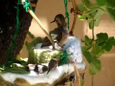 This is story of how a man-made hummingbird's nest was fashioned to save a hummingbird family from near disaster. The original nest was infested with bird mites which drove the baby chicks to abandon their nest. One of the baby hummers fell to the. Flowers That Attract Hummingbirds, Hummingbird Nests, Humming Bird Feeders, Humming Birds, Chicken Incubator, Baby Chicks, Raising Chickens, Chickens Backyard, Bird Houses