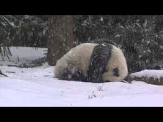 Bao Bao The Baby Panda Knows How To Enjoy The Snow - Digg