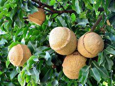 Sapucaia (Lecythis pisonis Cambess, Lecythydaceae) Origem: Brasil – floresta pluvial atlântica