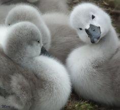 Baby Swans!!!!   so precious,   Splendid Sass: GRAY LOVE