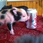 Charming Mini Pigs, Pets & Pet Supplies, Aurora, MO 65605 - favorite-pig-pics