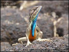 Wild Animals Of India: Fan-throated lizard