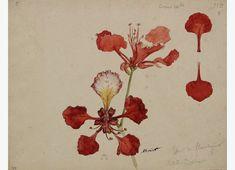 Auguste Morisot, Flower of the Acacia, Ciudad Bolívar (1886)
