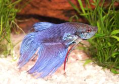 We named our Siamese Fighting Fish, Moo!