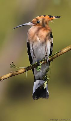 """Common Hoopoe  (Upupa epops) is a colourful bird found across Afro-Eurasia, notable for its distinctive """"crown"""" of feathers which is retracted in this photo."""