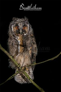 A young Long-eared Owl with prey in Staffordshire, UK by Scott Latham Photography