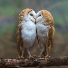 A collection of owl pictures and items that I like! Animals And Pets, Baby Animals, Funny Animals, Cute Animals, Animals Kissing, Unique Animals, Beautiful Owl, Animals Beautiful, Owl Pictures