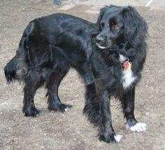 Ragdoll Cat Breeders, Border Collies, Pets, Animals, Dogs, Animales, Animaux, Border Collie, Animal