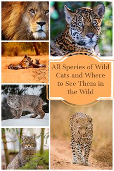 Wild cat species of the world and where to see them #wildcats #bigcats #smallcats #wildlifetravel