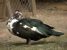 How to Tell a Male & Female Muscovy Duck Apart