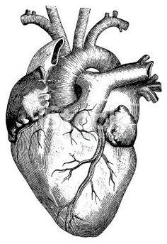 Résultats de recherche d'images pour «coeur  humain dessin»
