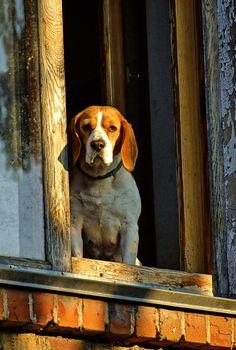 Beagle in window by Ruslan Danyliuk / 500px Beagle, Doggies, Windows, Painting, Animals, Art, Little Puppies, Art Background, Animales