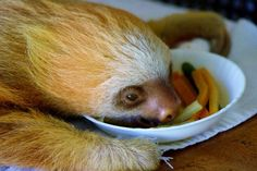 Aviarios del Caribe Sloth Sanctuary: Sloth baby eating lunch #animals #travel