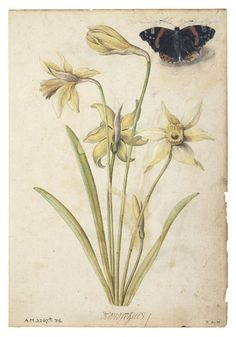 Daffodils and a Red Admiral Butterfly  Le Moyne de Morgues, Jacques, 1533 - 1588