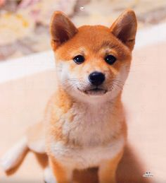 The Shiba Inu was bred in ancient Japan for hunting small game. It is independent but a robust companion for someone with experience and patience. Shiba Inus adapt well to urban living in any climate, and are friendly with other dogs, but they can be noisy about strangers.