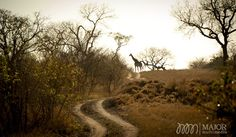 A common sight in the Londolozi Safari Reserve in South Africa, giraffe thrive in this mixed Woodland. Photography by MajorMultimedia.com