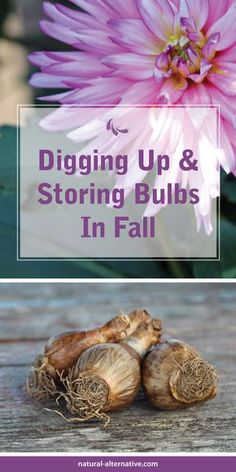 """Not all bulbs need to be removed and stored over winter. Daffodils and tulips remain in the ground, but """"tender bulbs"""" such as gladiolas, cannas, and dahlias, must be """"lifted"""" each fall. - See more at: http://natural-alternative.com/Tips/5507/Digging-Up-and-Storing-Bulbs#sthash.UTaxWyOQ.dpuf"""