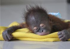 Exhausting being a baby chimp