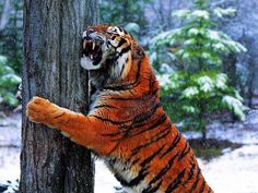 Tiger in the wild. Funny Animal Memes, Funny Animals, Cute Animals, Animal Humor, Animal Captions, Beautiful Cats, Animals Beautiful, Panthera Tigris Altaica, Lion Tigre