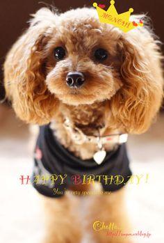 トイプードル 愛犬モンチが今月1歳になりました☆ スクスクと元気に育ってます^^ 小さなわんちゃん用のケーキと新しい首輪でささやかにお祝いしました。 ...